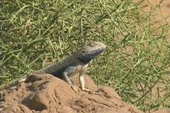 Turkmenistan lizard in sandy desert Stock Footage