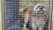 Brown dog behind fence Stock Footage
