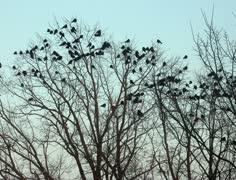 Ravens on tree 2k Stock Footage