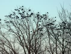 Ravens on tree 4k Stock Footage