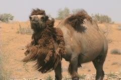 Uzbekistan camel shedding and eating Stock Footage