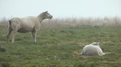 Sheeps Stock Footage