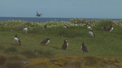 Group of puffins - stock footage