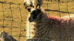 Sheep on Dartmoor Close Up HD - stock footage
