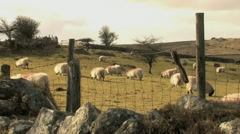Herd of Sheep Grazing HD Stock Footage