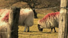 Herd of Sheep Grazing 4 HD - stock footage