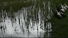 Group of ducks in a rice field Stock Footage