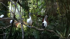Two white Pelican - stock footage