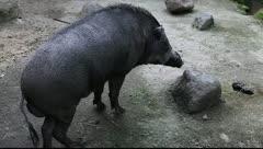 Wild boar. Stock Footage