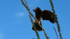 Hawk Lands On Ocotillo Cactus Stock Footage