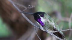 Hummingbird Jedi Stock Footage
