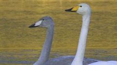 Whooper swan Stock Footage