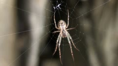 Spider in rock Stock Footage
