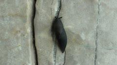 Slug afraid hides its antenna Stock Footage