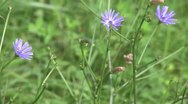 Stock Video Footage of Purple wildflowers (1 of 2)