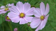 Cosmea flowers Stock Footage