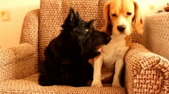 Beagle  and the scottish terrier Stock Footage