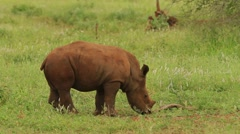 White Rhino Baby (we film with permission inside National Parks, contact us for Stock Footage