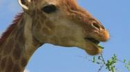 Giraffe close up Eating, South Africa GFHD Stock Footage