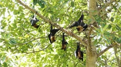 Megabats in Maldives 02 Stock Footage