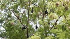 Megabats in Maldives 05 - stock footage