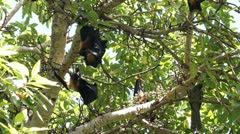 Megabats in Maldives 06 - stock footage