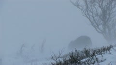 Muskox in winter snow storm blizzard Stock Footage