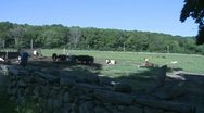 Stock Video Footage of Cows grazing in pasture (8 of 9)
