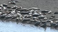 Harbor Seals Basking on Sand Bar by Water Stock Footage