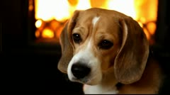 HD - Beagle - stock footage