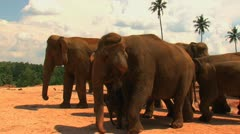 A band of elephants in the National Elephant Park of Sri-Lanka Stock Footage