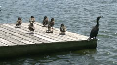 Birds on dock (3 of 3) Stock Footage