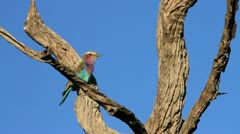 Lilac Breasted Roller Bird flies off GFHD Stock Footage