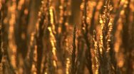Field at sunset Stock Footage
