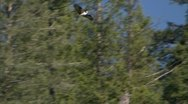 Stock Video Footage of Osprey Flies