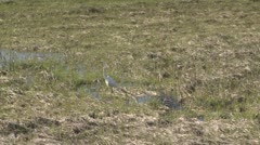 Stock Video Footage of A white shore bird walking through sparse grass (1 of 2)