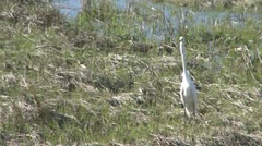 Stock Video Footage of A white shore bird walking through sparse grass (2 of 2)