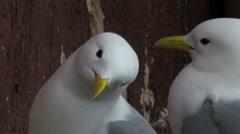 Black-legged Kittiwake Stock Footage