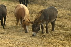 Ponies Eating Hay - stock footage