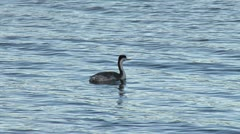 Grebe Floating Preening and Dives Underwater Stock Footage
