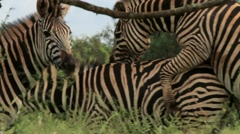 Rare shot of Zebras Mating in the Wild GFHD Stock Footage