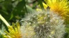 Dandelion and wind Stock Footage
