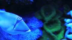 Red Sea Picasso Fish Stock Footage