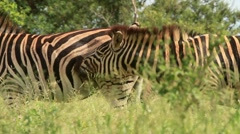 Zebras nuzzling before Mating GFHD Stock Footage
