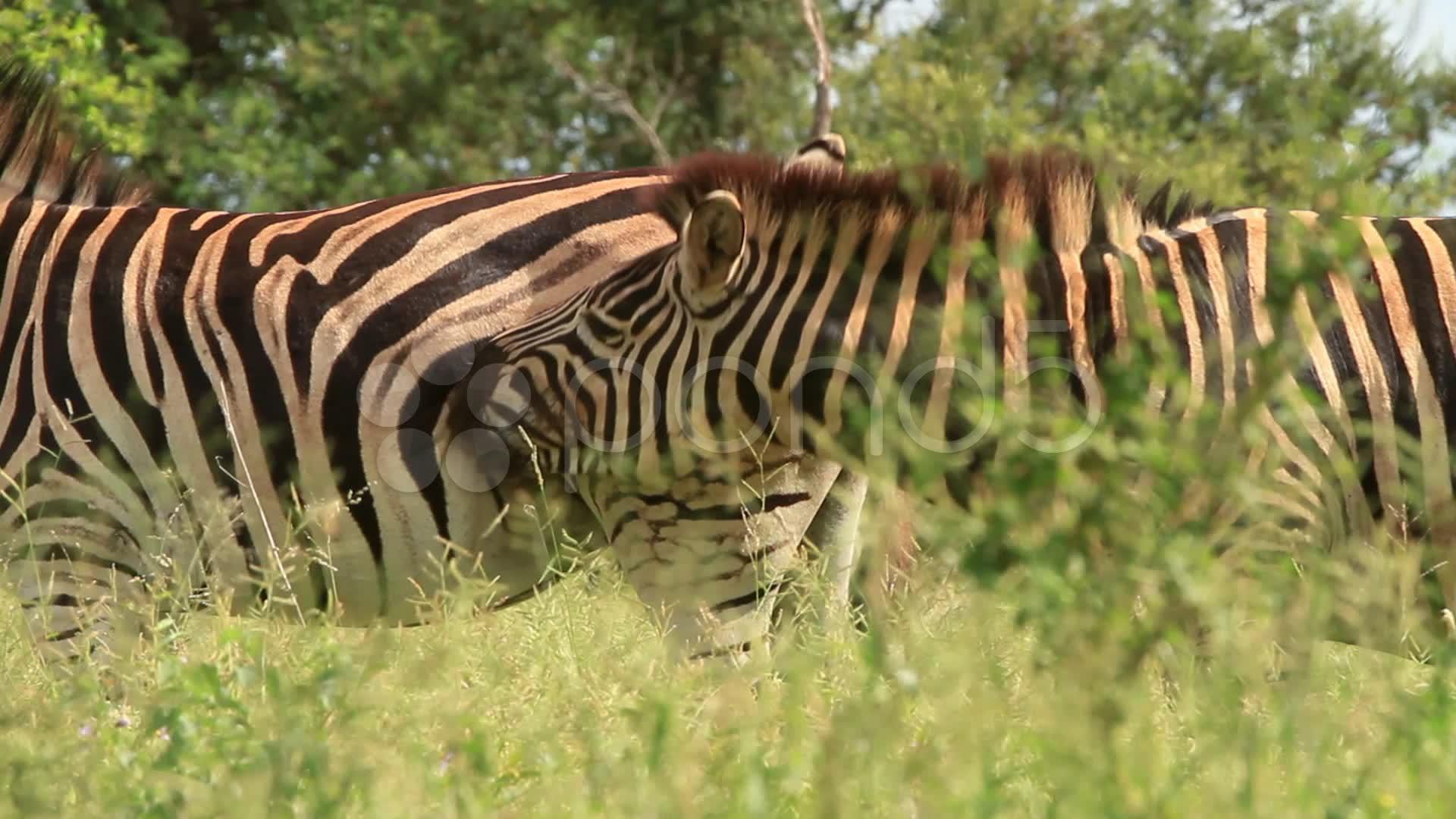 Zebras mating - photo#49