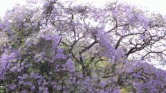 Jacaranda Tree Time Lapse Stock Footage