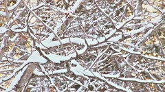 Snowy Alder Branches in Winter Breeze - stock footage