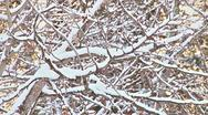 Stock Video Footage of Snowy Alder Branches in Winter Breeze
