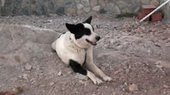 Black and white dog 2 - stock footage