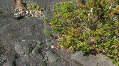 Plant life on lava flow Stock Footage